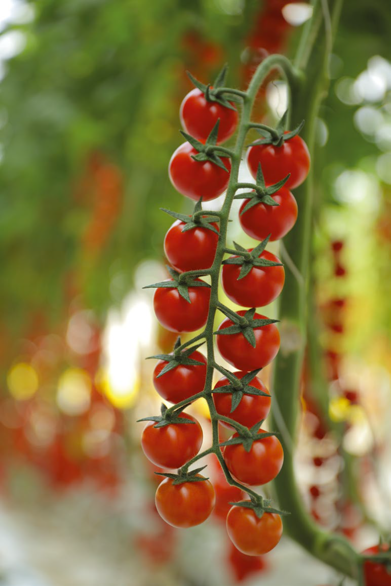 VITTORIA TOMATOES HOME ENG